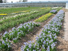 beds with Irises, bulbous plants nursery, Sjaak de Groot, De Zilk, South Holland (11 April 2009)