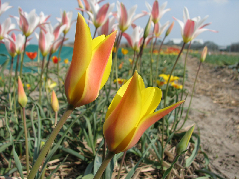 Tulipa clusiana Tubergens Gem and Tulipa clusiana cashmeriana (bulbous plants nursery Sjaak de Groot, De Zilk, South Holland)