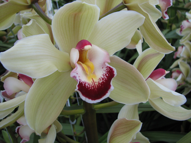 close up flower of Cymbidium cv. Loyd Hawkinson Piedmont (Cymbidium nursery, Sjaak de Groot, De Zilk, Southern Holland)