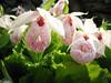 Cypipedium formosanum (Garden, Henk van de Bogaart)