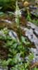 Phyteuma spicatum ssp. spicatum