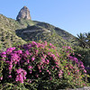 Bougainvillea glabra, native to Brazil, Jardin Botanico del Descubrimiento, Argaga with Roque El Cano, N of Vallehermoso