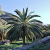Phoenix canariensis, Jardin Botanico del Descubrimiento, Argaga with Roque El Cano, N of Vallehermoso