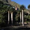 Dracaena draco, Jardin Botanico del Descubrimiento, Argaga, N of Vallehermoso