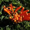 Pyrostegia ignea, flame vine, native to Brasil, Jardin Botanico del Descubrimiento, Argaga N of Vallehermoso
