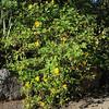 Tithonia diversifolia, Jardin Botanico del Descubrimiento, Argaga, N of Vallehermoso