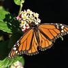 Danous plexippus, Monarch, Jardin Botanico del Descubrimiento, Argaga, N of Vallehermoso