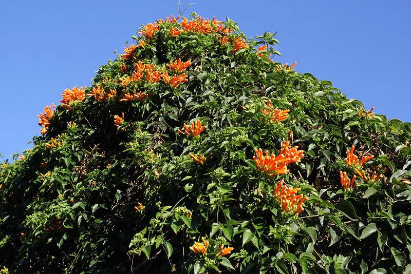Pyrostegia ignea, flame vine, native to Brazil, Jardin Botanico del Descubrimiento, Argaga N of Vallehermoso