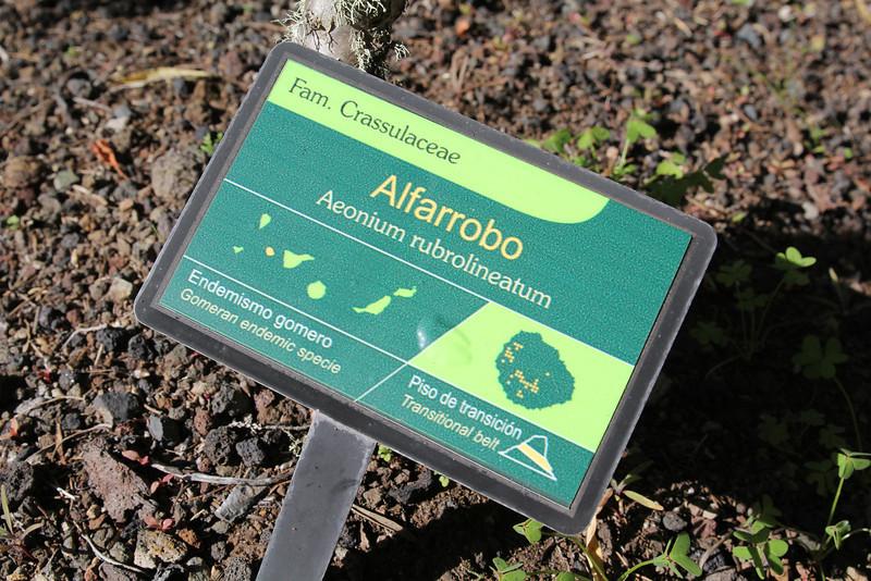 Aeonium rubrolineatum, Visitors centre and botanical garden, NP Garajonay, Juege de Bolas Centro de Vistantes, Hormigua