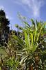Limonium dendroides, Visitors centre and botanical garden, NP Garajonay, Juege de Bolas Centro de Vistantes, Hormigua