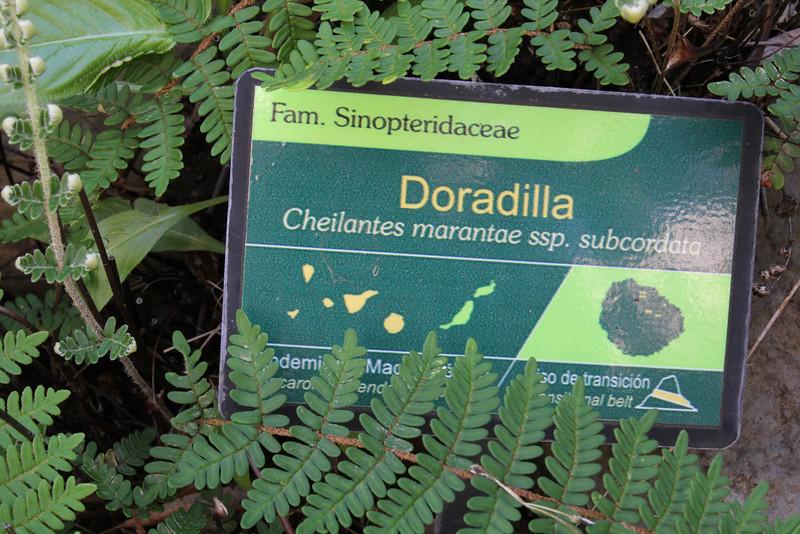 Cheilanthes marantae ssp. subcordata, Visitors centre and botanical garden, NP Garajonay, Juege de Bolas Centro de Vistantes, Hormigua