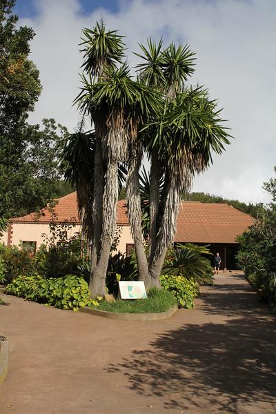 Dracaena draco, Visitors centre and botanical garden, NP Garajonay, Juege de Bolas Centro de Vistantes, Hormigua