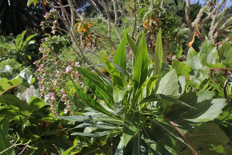 Limonium ?, Visitors centre and botanical garden, NP Garajonay, Juege de Bolas Centro de Vistantes, Hormigua