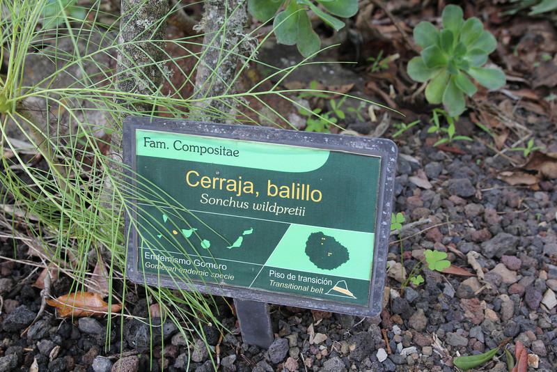 Sonchus wildpretii, Visitors centre and botanical garden, NP Garajonay, Juege de Bolas Centro de Vistantes, Hormigua