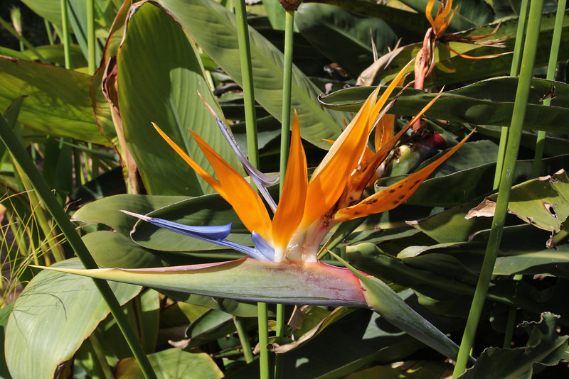 Strelitzia reginae, native to S. Africa, Visitors centre and botanical garden, NP Garajonay, Juege de Bolas Centro de Vistantes, Hormigua