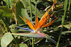 Strelitzia reginae, native to S. Africa, Visitors centre and botanical garden, NP Garajonay, Juege de Bolas Centro de Vistantes, Hormigua