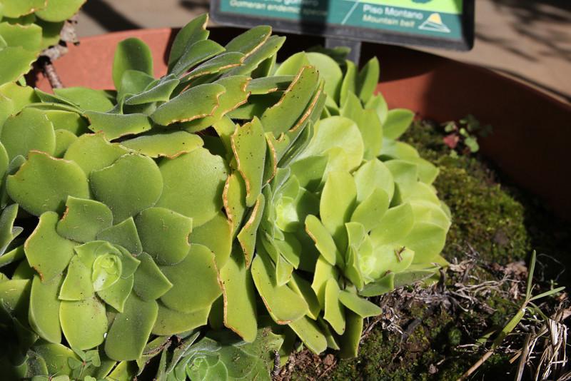 Aeonium saundersii, Visitors centre and botanical garden, NP Garajonay, Juege de Bolas Centro de Vistantes, Hormigua