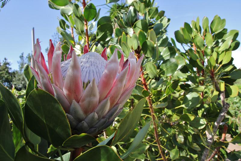 Protea cynaroides, native to the Cape region of S. Africa, Visitors centre and botanical garden, NP Garajonay, Juege de Bolas Centro de Vistantes, Hormigua