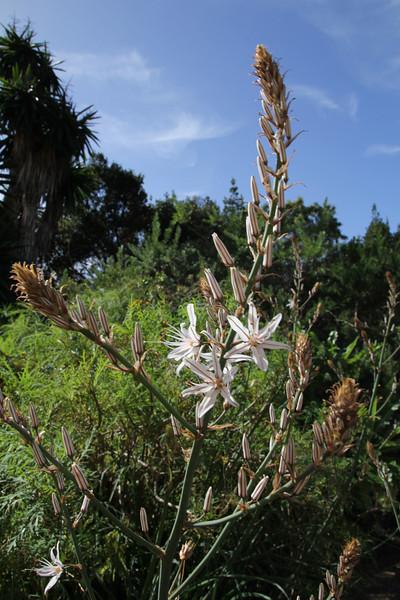 Asphodelus microcarpus, Visitors centre and botanical garden, NP Garajonay, Juege de Bolas Centro de Vistantes, Hormigua