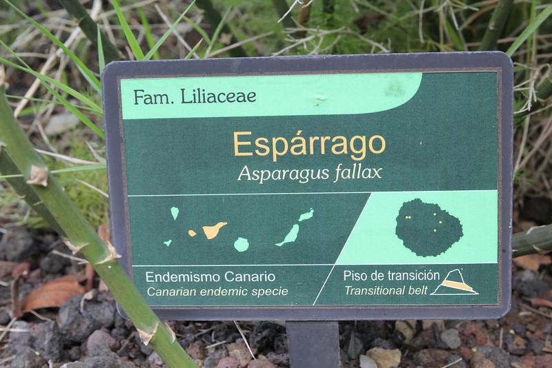 Asparagus fallax, Visitors centre and botanical garden, NP Garajonay, Juege de Bolas Centro de Vistantes, Hormigua