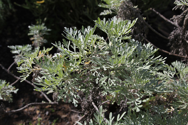 Artemisia thuscula, Visitors centre and botanical garden, NP Garajonay, Juege de Bolas Centro de Vistantes, Hormigua