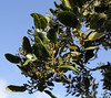 Rhamnus glandulosa, Visitors centre and botanical garden, NP Garajonay, Juege de Bolas Centro de Vistantes, Hormigua