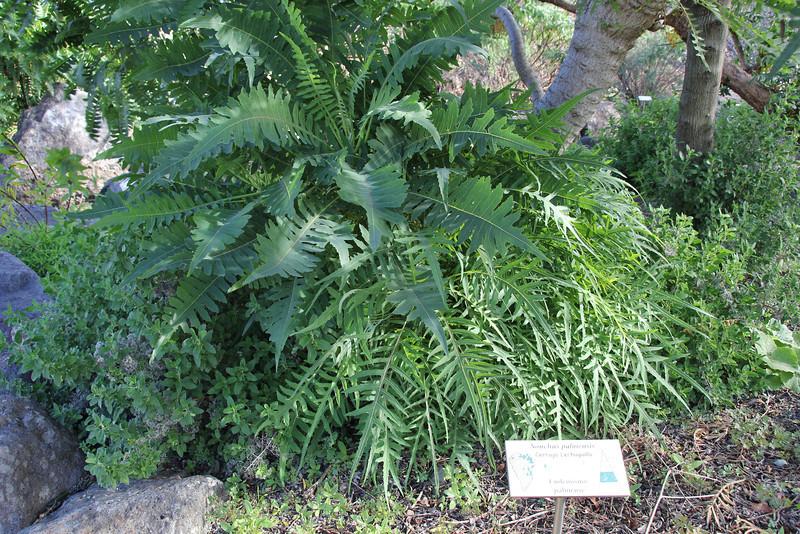 Sonchus palmensis, Centro de visitantes, Nacional Parque Caldera Taburiente, LP3