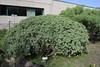 Euphorbia balsamifera, Centro de visitantes, Nacional Parque Caldera Taburiente, LP3