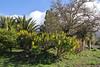 Aeonium holochrysum, Centro de visitantes, Nacional Parque Caldera Taburiente, LP3