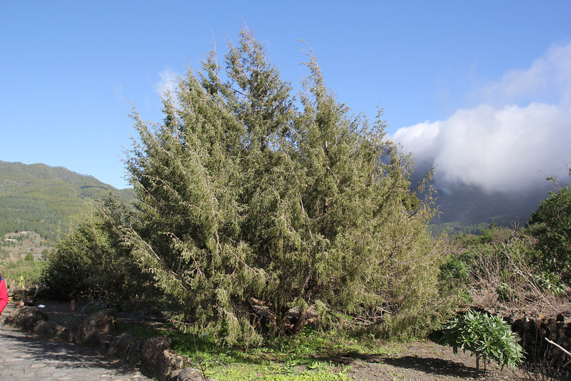 Juniperus cedrus, Centro de visitantes, Nacional Parque Caldera Taburiente, LP3