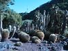 Echinocactus garden (Jardin Canaria)