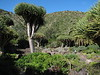 the endemic tree: Dracaena draco (Jardin Canaria)