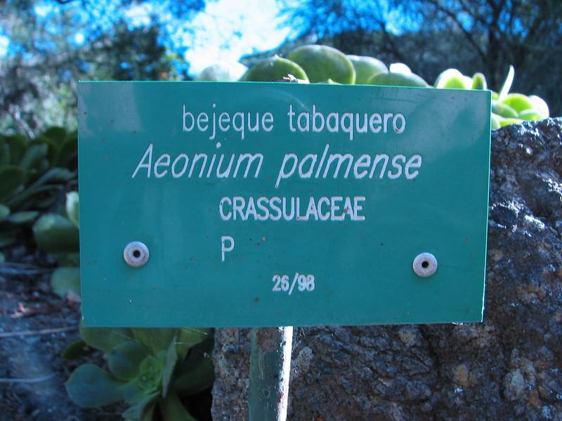 Aeonium palmense (Lanzarote, Fuerteventura.     Jardin Canaria)