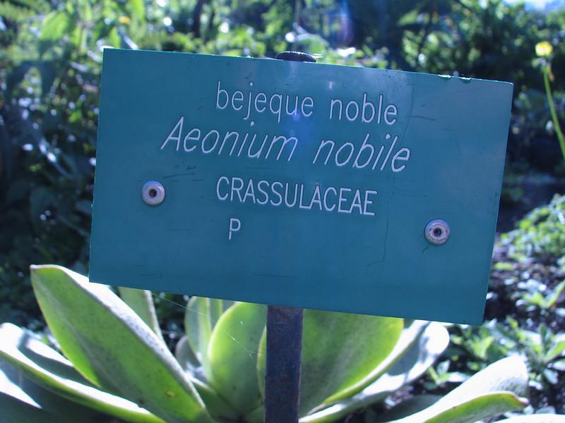 Aeonium nobile (Jardin Canaria)