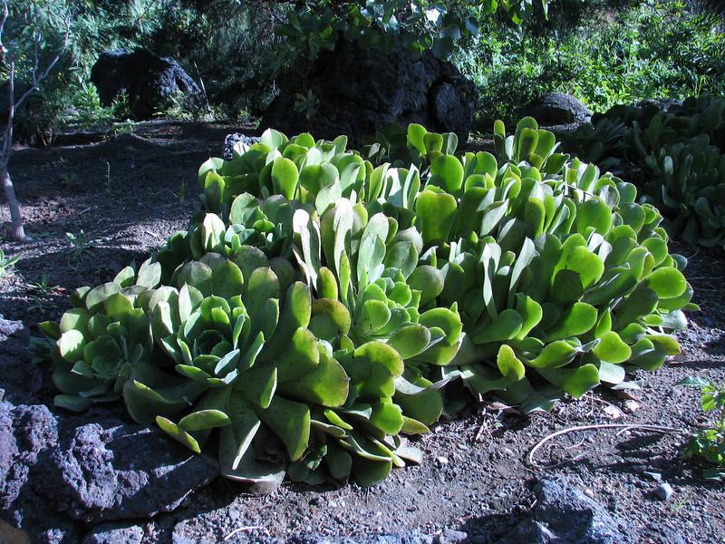 Aeonium davidbramwellii or palmense, (Jardin Canaria)
