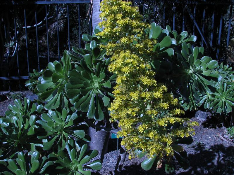 Aeonium manriqueorum (Jardin Canaria)
