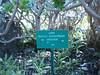 Aeonium balsamiferum (Jardin Canaria)