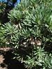 Kleinia neriifolia (Jardin Canaria)