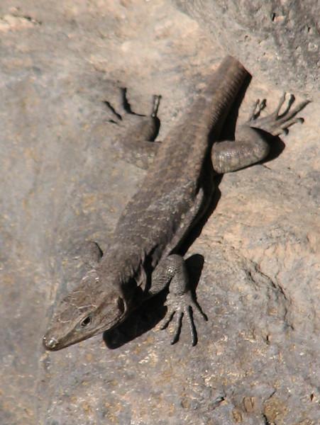 Gallotia stehlini (Gran Canaria Giant Lizard) (Jardin Canario)