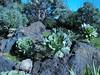 Aeonium davidbramwellii,  (Jardin Canaria)