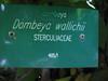 Dombeya wallichii (Non native plant,    Jardin Canaria)