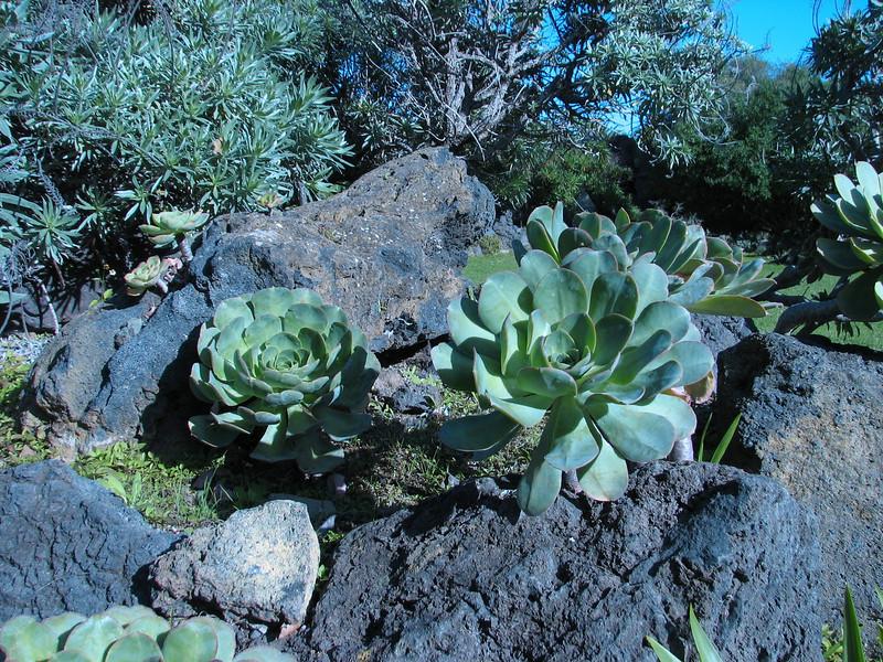 Aeonium davidbramwellii, (Crassulaceae, Hierro, La Palma.)