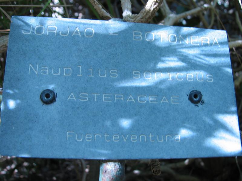 Nauplius sericeus ( Asteriscus sericeus ) (North coast Fuerteventura,)