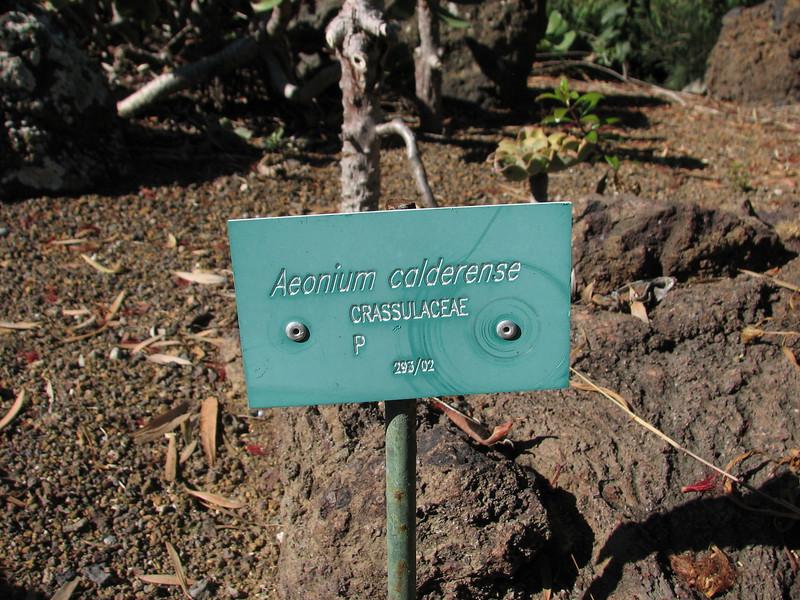Aeonium calderense (Jardin Canaria)