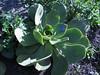 Aeonium davidbramwellii (Jardin Canaria)