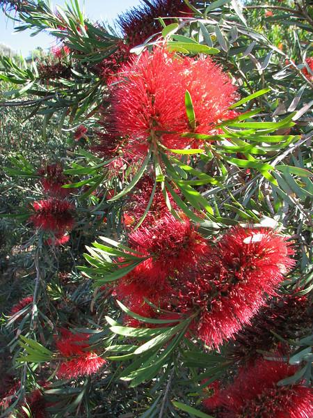 Callistemon rigidus (Close up,      Jardin Canaria)