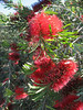 Callistemon rigidus (Close up,      Jardin Canaria)