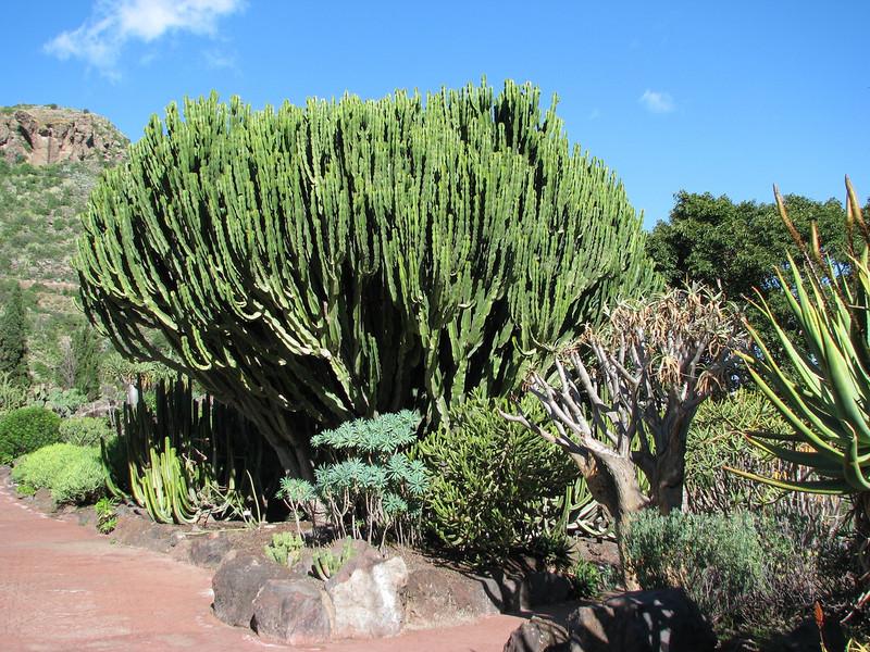 Euphorbiaceae garden (Jardin Canaria)