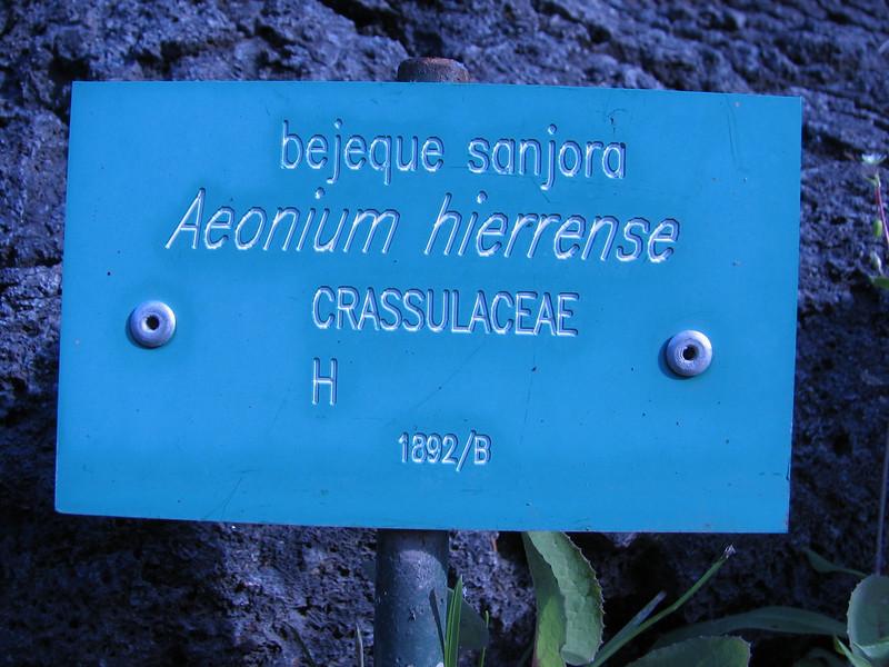 Aeonium hierrense (Hierro until 700m.   Jardin Canaria)