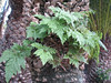 Davallia canariensis (Jardin Canario)